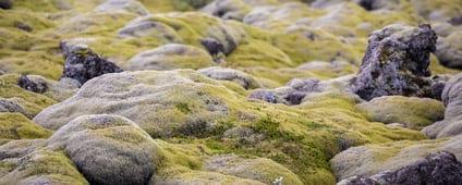 IJslands mos – Cetraria islandica