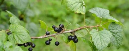 Zwarte bes – Ribes nigrum