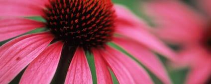 Rode zonnehoed – Echinacea purpurea
