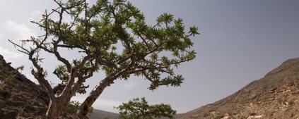 Wierook – Boswellia serrata
