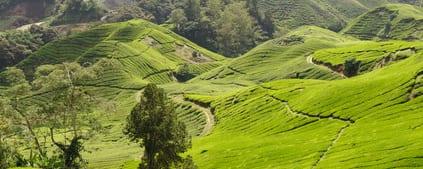 Groene thee – Camellia sinensis