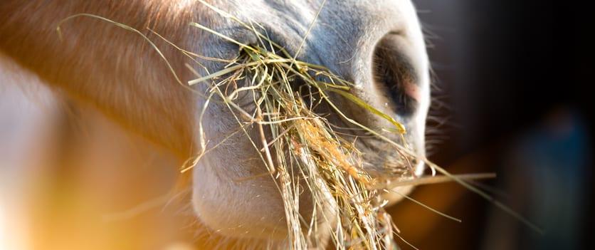 Waarom maagkruiden helpen tegen luchtzuigen bij paarden