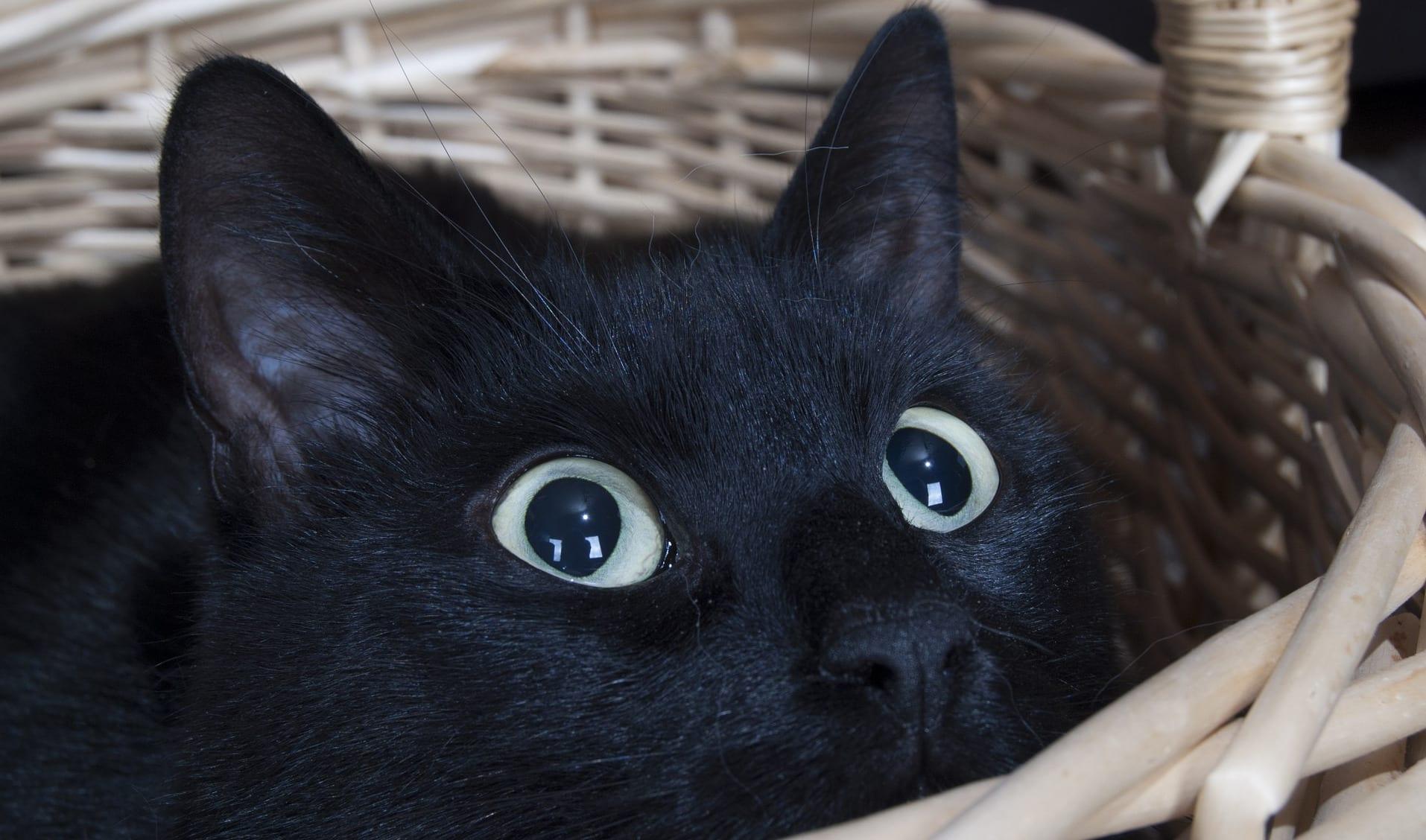 Door stress veroorzaakte blaasontstekingen bij de kat