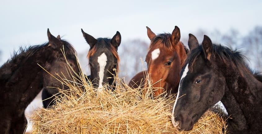 De relatie tussen voeding, stress en de darmflora van je paard