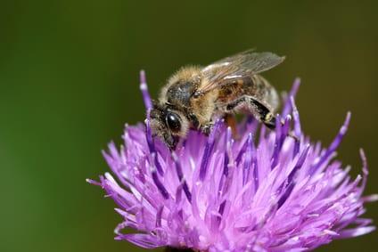 Hoe krijg je blije bijen?