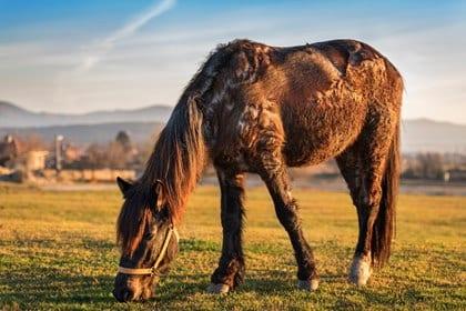 PPID bij paarden: ziektebeeld en mogelijke ondersteuning