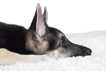 OORzaken van oorontsteking bij honden en katten