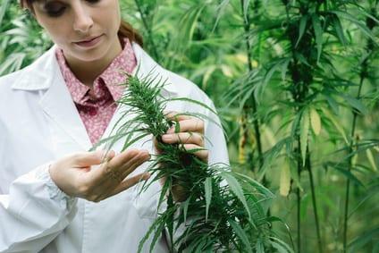 CBD uit cannabis: van eeuwenoud gebruik naar moderne productiemethoden