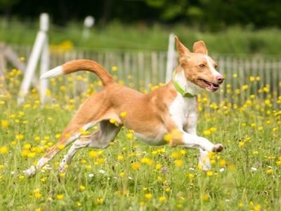 Waar kun je tegenaan lopen als je een hond uit het buitenland adopteert? Gedrag en ziektes bij buitenlandse honden