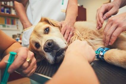 Operatie bij je hond? Zo kun je helpen bij het voorbereiden en het herstel