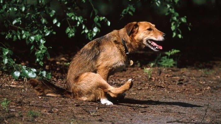 Waarom anaalklieren legen geen goed idee is: advies bij anaalklierproblemen bij honden