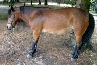 Gezocht: Paarden met (of gevoeligheid voor) HOEFBEVANGENHEID (laminitis)