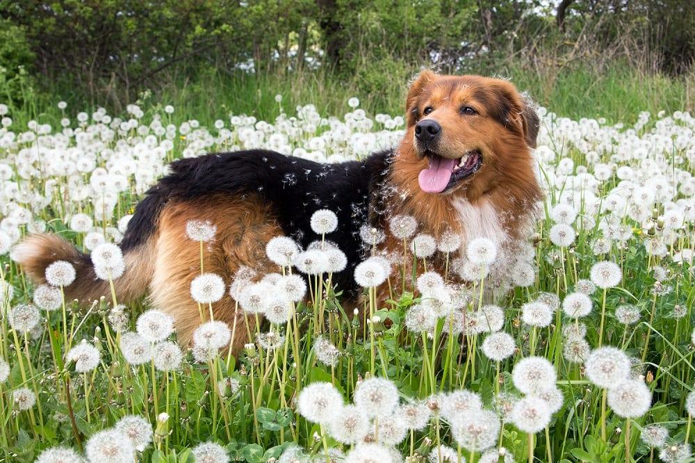 Ja, het bestaat écht: hooikoorts bij honden en paarden