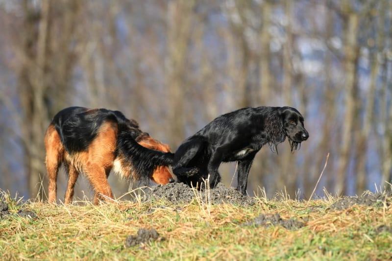 Hoe ziet een gezonde hondendrol eruit?