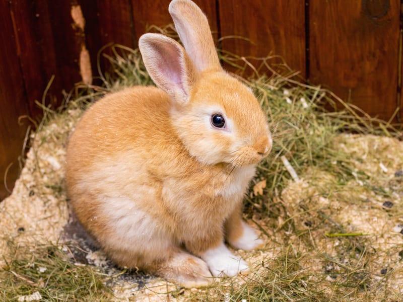 Darmproblemen bij konijnen