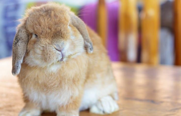 Waar je aan moet denken bij een konijn met luchtwegproblemen