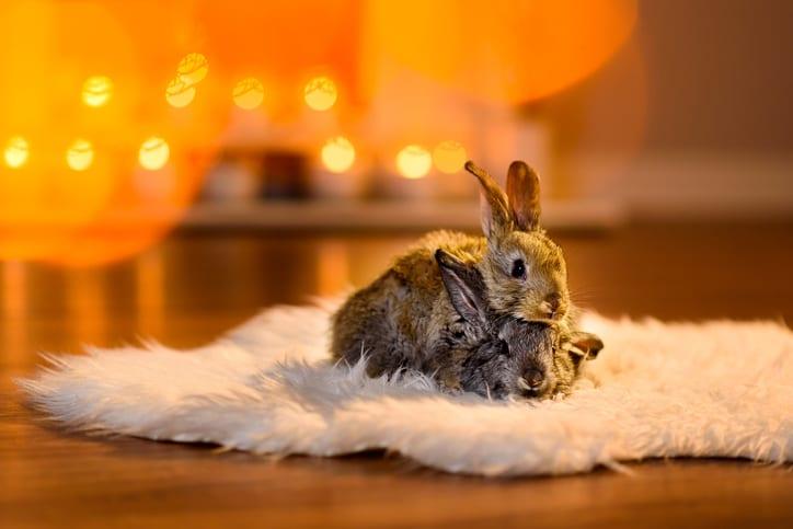 Kruitlucht en gillende keukenmeiden: vuurwerkstress bij konijnen