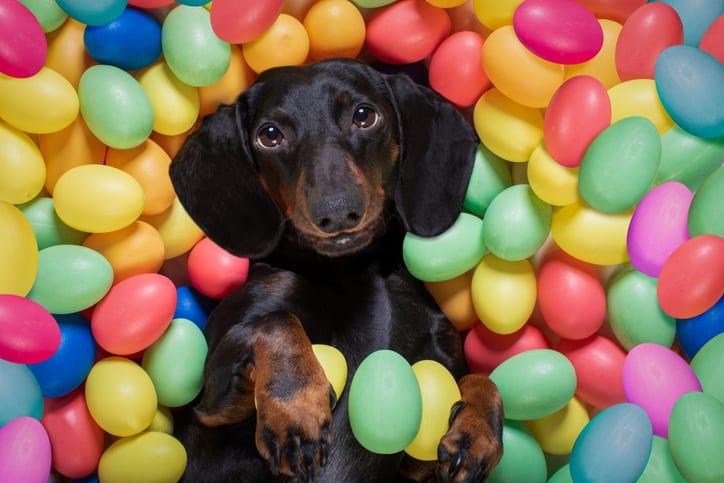 Oeps! Mijn hond heeft chocolade gegeten! Wat nu?