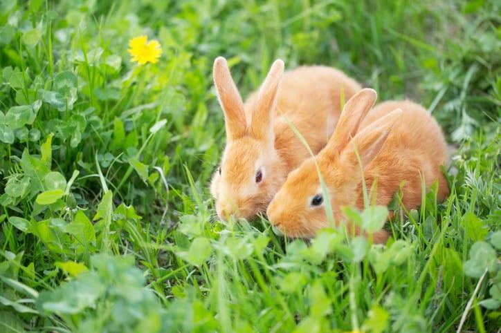 Kijk verder dan de vachtmijten: natuurgeneeskunde voor konijnen