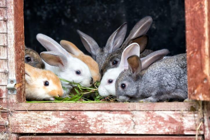 Pinwormen bij konijnen: lastige gast in de darmen