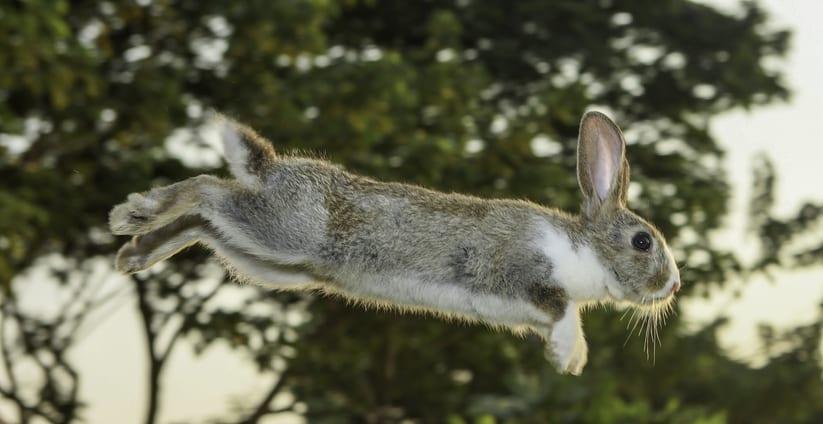 Pijn bij bewegen: artrose bij konijnen