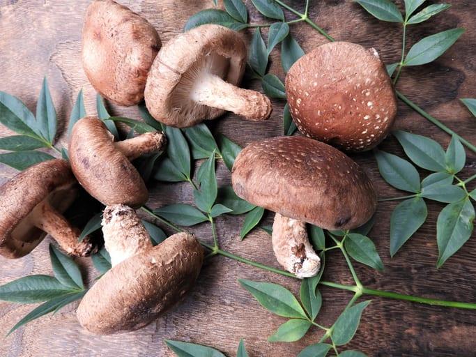 Shiitake, een veelzijdige paddenstoel
