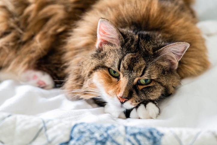 Hoe help je een kat met een overactieve schildklier?